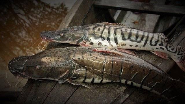 Amazonian-Donacella-Catfish-640