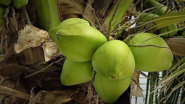 Amazonian-coconut-640