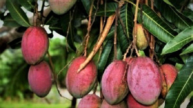 Amazonian-mango-640
