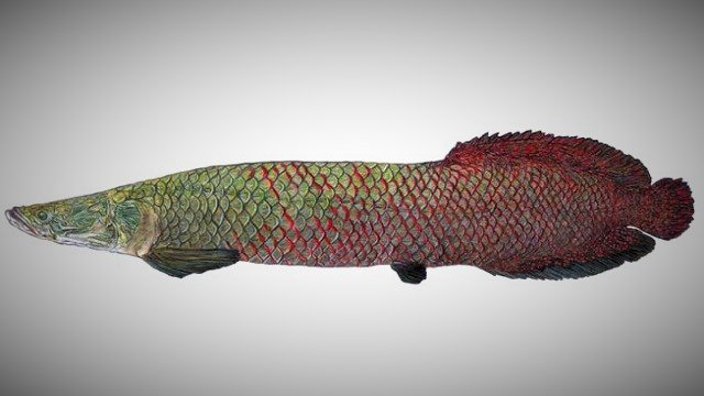 Amazonian-paiche