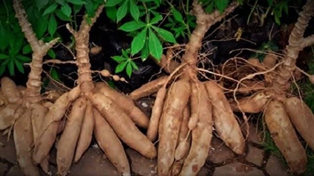 Amazonian-yucca-manioc-root